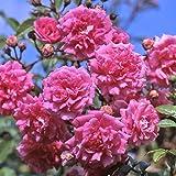 Kordes Rosen Kletterrose, Super Dorothy, rosa, 12 x 12 x 40 cm, 18-31