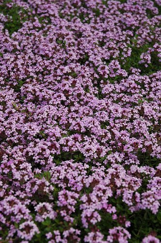thymus-coccineus-minimus-plants-9cm-top-quality-lincolnshire-grown-alpine-plants