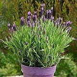Lavande stoechas/Lavande Maritime 15cm pot - 1 plante