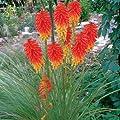 lichtnelke - Fackellilie (Kniphofia PAPAYA POPSICLE) von Lichtnelke Pflanzenversand auf Du und dein Garten