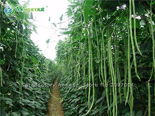 Perte de la promotion . Graines 20pcs longues de la Haba Dolique, caupí serpent de HABA vegetable Seeds, mini jardin longs Graines de haricots