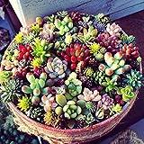 Kisshes Giardino - 100 Pezzi mini succulente semi di erba ornamentale pianta bonsai vaso di semi di fiori perenni, molto divertente come pietra