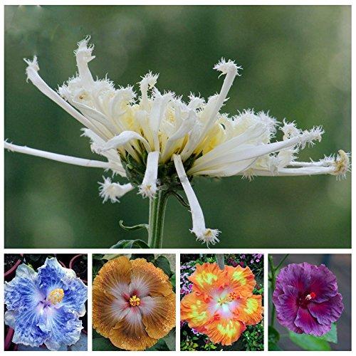 Im Angebot!!! 200pcs Hibiscus Samen 16kinds Hibiscus rosa-sinensis Blumensamen Hibiskus Baumsamen für Blumentopfpflanzen