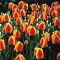 Darwin Hybrid Tulpe Apeldoorns Elite von Meingartenshop - Du und dein Garten