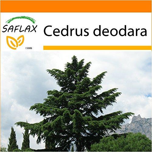 Galleria fotografica SAFLAX - Garden in the Bag - Cedro dell Himalaya - 35 semi - Cedrus deodara