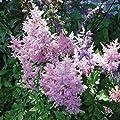 lichtnelke - Hohe Prachtspiere ( Astilbe arendsii BRESSINGHAM BEAUTY ) von Lichtnelke Pflanzenversand bei Du und dein Garten