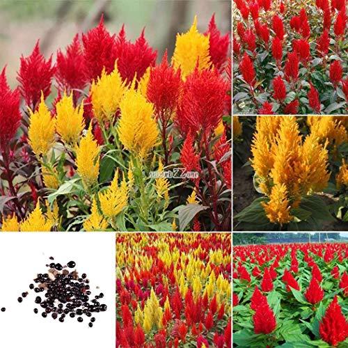 Portal Cool Semillas 50pcs Anual Jardín Balcón decorativo Cresta de gallo Celosia de flor rR6