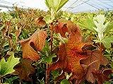Hortensie Eichenblatthortensie Pee Wee Hydrangea quercifolia Pee Wee 30-40 cm hoch