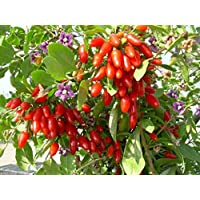 Pinkdose 200 GOJIBERRY Seed, Out Of Pod, Wolfberry Gou-gi-zi, Matrimony vine, Lycium barbarum