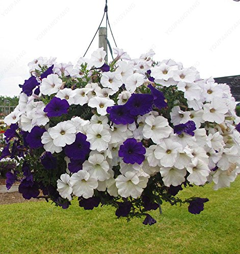 100 graines de pétunia --Black velours pétunia, variété rare, rustique, balcon durable, cour bonsaïs de fleurs pour le jardin de la maison Effacer