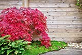Fächer-Ahorn Samen, Japanische Ahorne 'Red Emperor' 5 Samen (Acer Palmatum)