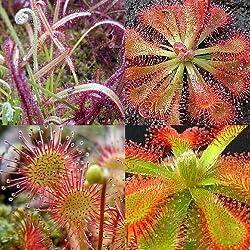 Drosera mix - plantas carnivoras - 10 semillas