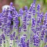 Kölle's Bio Bio Lavendel im 12 cm Kräutertopf, Lavendel in Bio-Qualität, Lavendel, Würzkraut im Topf, Lavendel frisch aus unserer Gärtnerei