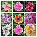 200 Samen Hibiskus versch. Farben oder Mischpackung von Fanny´s Garden bei Du und dein Garten