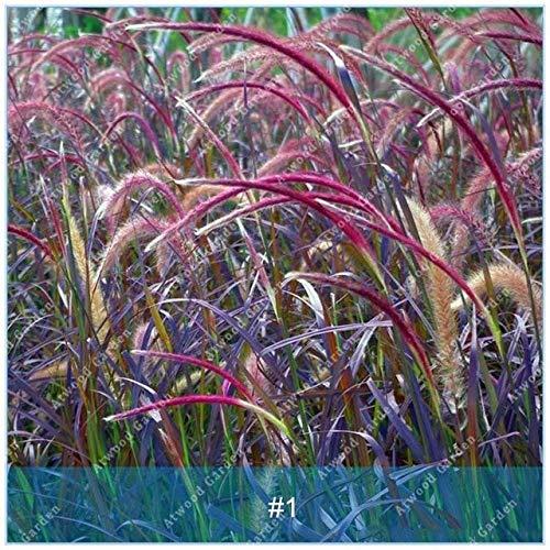 Shopmeeko SEEDS: ZLKING 100PCS Pennisetum Gras Bonsaipflanzen für Hausgarten-Naturrasenteppich schnell wachsende Pflanze: 1 -