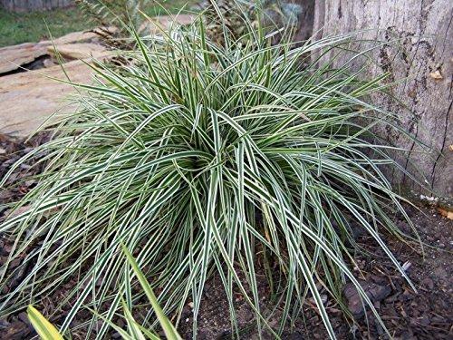 carex-oshimensis-everest-1-liter-ziergras-graser-stauden-japan-segge