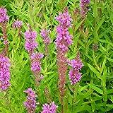 Blumixx Stauden Lythrum salicaria - Blutweiderich, im 0,5 Liter Topf, violettrosa blühend