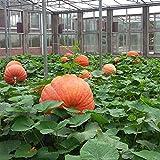 20pcs / bolsa de la calabaza gigante de semillas Semillas de Super Calabazas Orna-Mental Calabaza vegetal Bonsai en maceta Pl