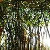 Zyperngrass, Wasserpalme 2 kraeftige unbewurzelte 10-15 cm lange Stecklinge