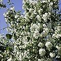 Falscher Jasmin, 1 Strauch von Amazon.de Pflanzenservice bei Du und dein Garten