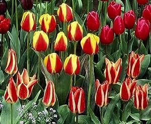 40 Zwiebel Greigii Tulpen Farb-Mischung Größe 10/11 - zu dem Artikel bekommen Sie gratis ein Paar Handschuhe für die Gartenarbeit dazu