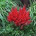 Rote Prachtspiere (Astilbe arendsii) - 1 Pflanze von Garten Schlüter auf Du und dein Garten