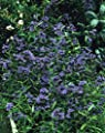 """Blaue Bartblume (Caryopteris clandonensis) """"Heavenly blue"""". 17cm Topf. 1 Pflanze von Dominik Gartenparadies auf Du und dein Garten"""
