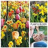 Plant & Bloom - Bulbes de fleurs, Tulipes et Narcisses/Jonquilles d'Hollande - 30 ampoules, plantation d'automne, faciles à cultiver, floraison printanière - Couleurs Pastel - Qualité supérieure