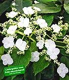 BALDUR-Garten Kletter-Hortensien 'Semiola', Hydrangea petiolaris 1 Pflanze blühende Kletterpflanze winterhart
