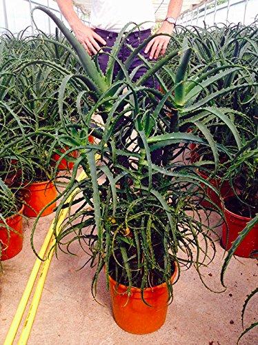 Aloe arborescens caespitosa 100 cm, cactus, pianta grassa