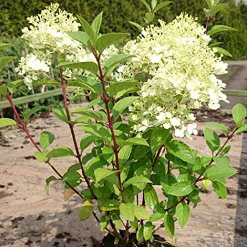 Hortensie Weiße Blüten, verfärben sich später in zartrosa