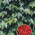 Wilder Wein Parthenocissus tricuspidata Veitchii 100/150 cm von Rosen-Weber bei Du und dein Garten