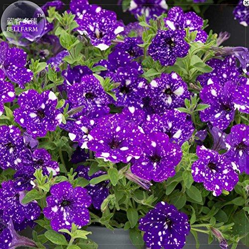 AMZT New Petunia Blue Sky Petunia Samen, 200+ Samen - Petunia Samen