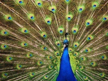 Peacock Tail Fan - Poster-Bild 70 x 50 cm: