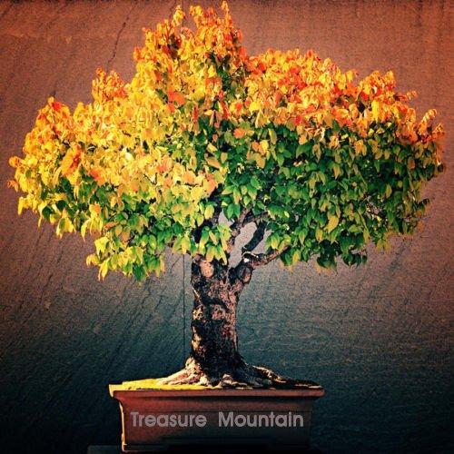 Galleria fotografica 100 semi Pz Un Sacchetto Calanthe, seme di fiore in vaso bonsai rara orchidea Piante nascente Tasso 95% colori misti