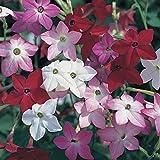 Nicotiana Essence 12 Mega Plants – Mixed Colours (12-)