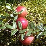 Cranberry Strauch Cranberry - 20 cm rotes Beerenobst Gartenpflanze 1 Pflanze