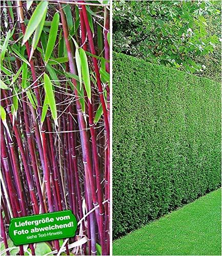 BALDUR-Garten Hecken-Kollektion, 3 Pflanzen 1 Pflanze Roter Bambus \'Chinese Wonder\' und 2 Pflanzen Leyland-Zypressen-Hecke