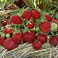 Erdbeere HUMMI®-Praline HZ 12 Stück von Hummel - Erdbeeren - Du und dein Garten