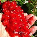 New ArrivalRed Johannisbeere Obst Pflanze panamerikanisch Stachelbeere Samen Laterne Obst Samen sementes da Fruta - 5 Seed / Pack, # 7RKQK5 von SVI - Du und dein Garten