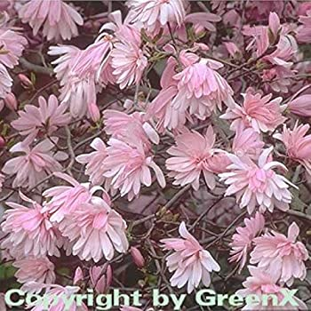 Kleine Sternmagnolie 60-80cm Magnolia stellata