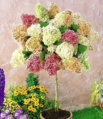 BALDUR-Garten Hortensien-Stämmchen 'Grandiflora', 1 Pflanze Hydragena paniculata grandiflora von Baldur-Garten - Du und dein Garten