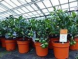 Calamondin Orangenbaum Citrus Mitis Zitruspflanze, Spalier od. Busch (Busch T14 BIO)