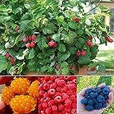 Kaimus 100 Samen Himbeeren Rarität essbar Himbeere köstlich Obstpflanzen Hausgarten Pflanzensamen Rot Gelb Lila