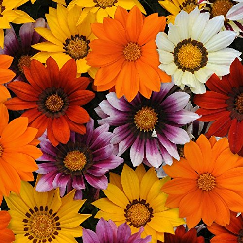 Gazania Daybreak Mixed | Tray of 40 Plug Plants