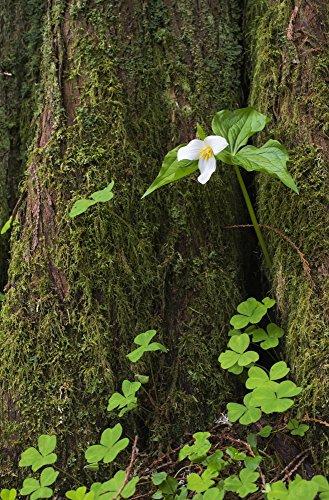 Red Cedar Tree Trunk (Robert L. Potts/Design Pics - A Trillium Grows from The Trunk of a Western Red Cedar Tree; Jewell Oregon United States of America Kunstdruck (55,88 x 86,36 cm))