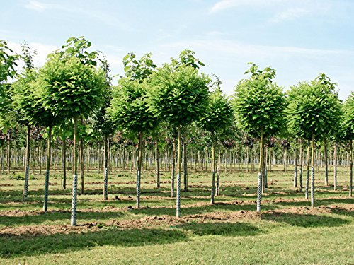 Kugelakazie - Robinia pseudoacacia Umbraculifera - Kugelbaum - Stammhöhe 150 cm; Stammumfang 7-8 cm - Garten von Ehren®