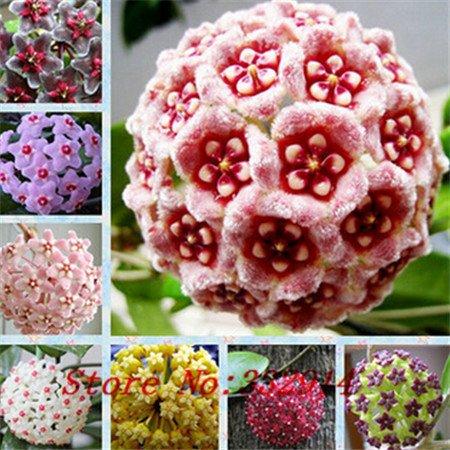 Galleria fotografica Vendita calda 2016 20 colori rari semi Hoya semi di fiore 50pc / pack Semi Bonsai per la casa e il giardino