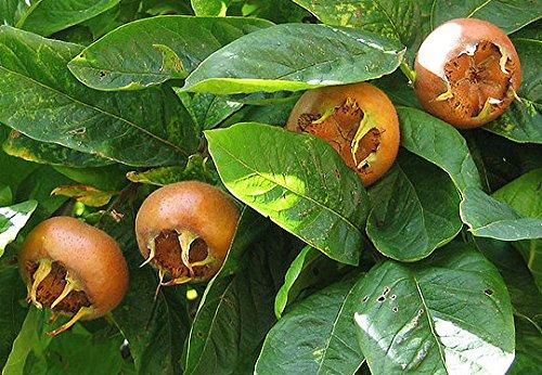 10 echte Mispel Samen, Mespilus germanica, common medlar seeds, vergessenes Obst