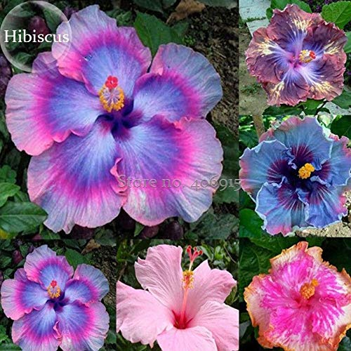 Portal Cool Rare Mix Colors Riesen Hibiscus Samen Topfpflanze Staude Blumen Rosen-Malve - Hibiscus Topfpflanze